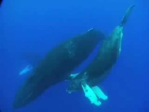 Som/Canto das Baleias Jubarte(Humpback whales)DEUS EXISTE!