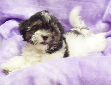 Havanese Puppy For Sale In Winston Salem Nc Adn 42513 On Puppyfinder Com Gender Male Age 12 We With Images Havanese Puppies Havanese Puppies For Sale Puppies For Sale