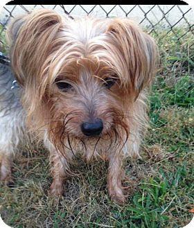 Pennington Nj Yorkie Yorkshire Terrier Meet Chowder A Dog