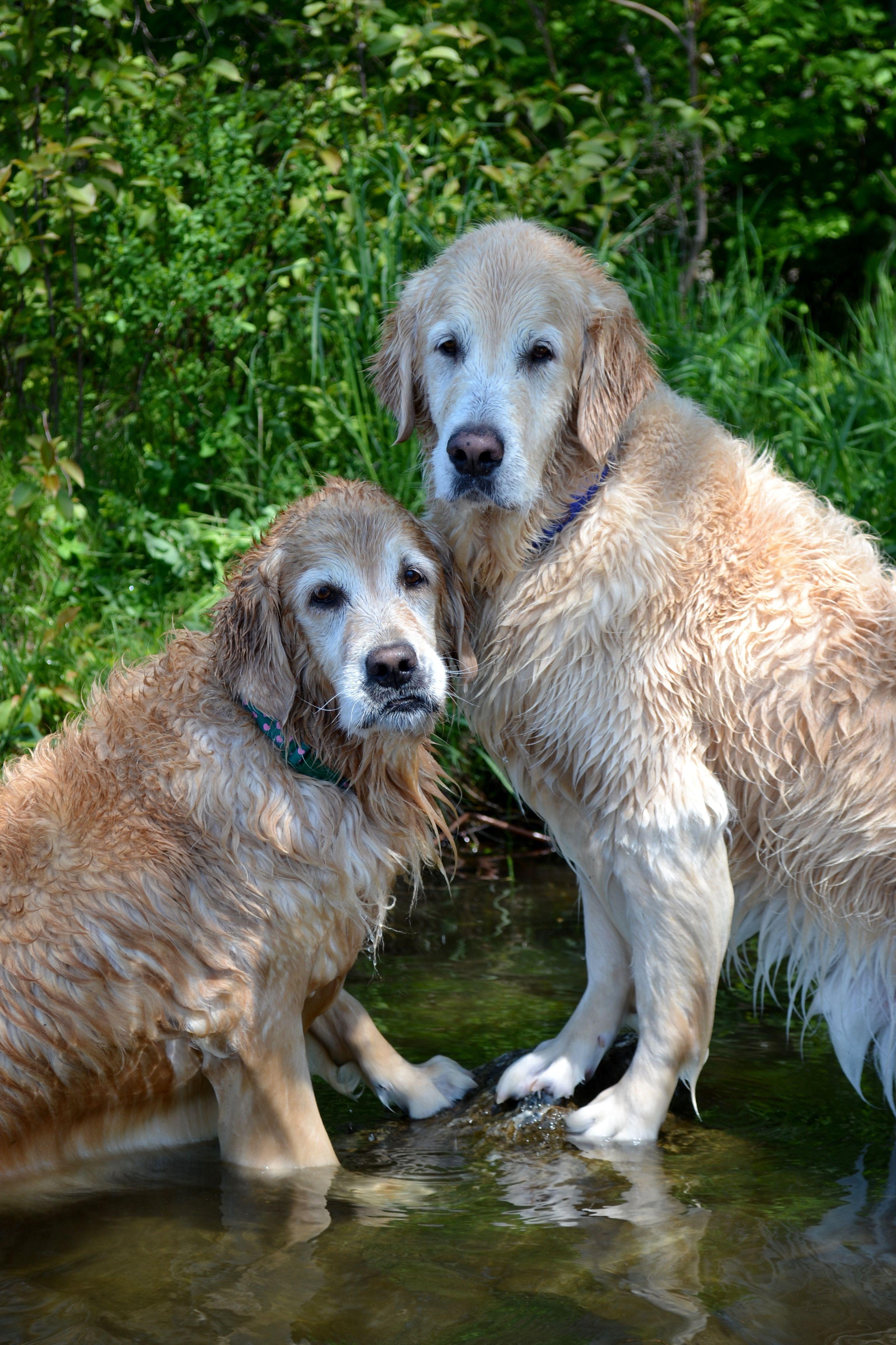 Brie And Ben Sharing A Rock Grand Dog Golden Retriever Pets