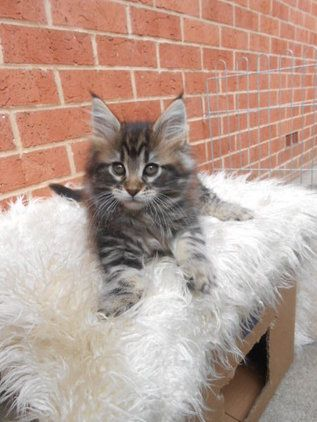 How Cute Is This Little Boy Currently On Sale In Leeds May 2013 Cute Cats Beautiful Cats Crazy Cats
