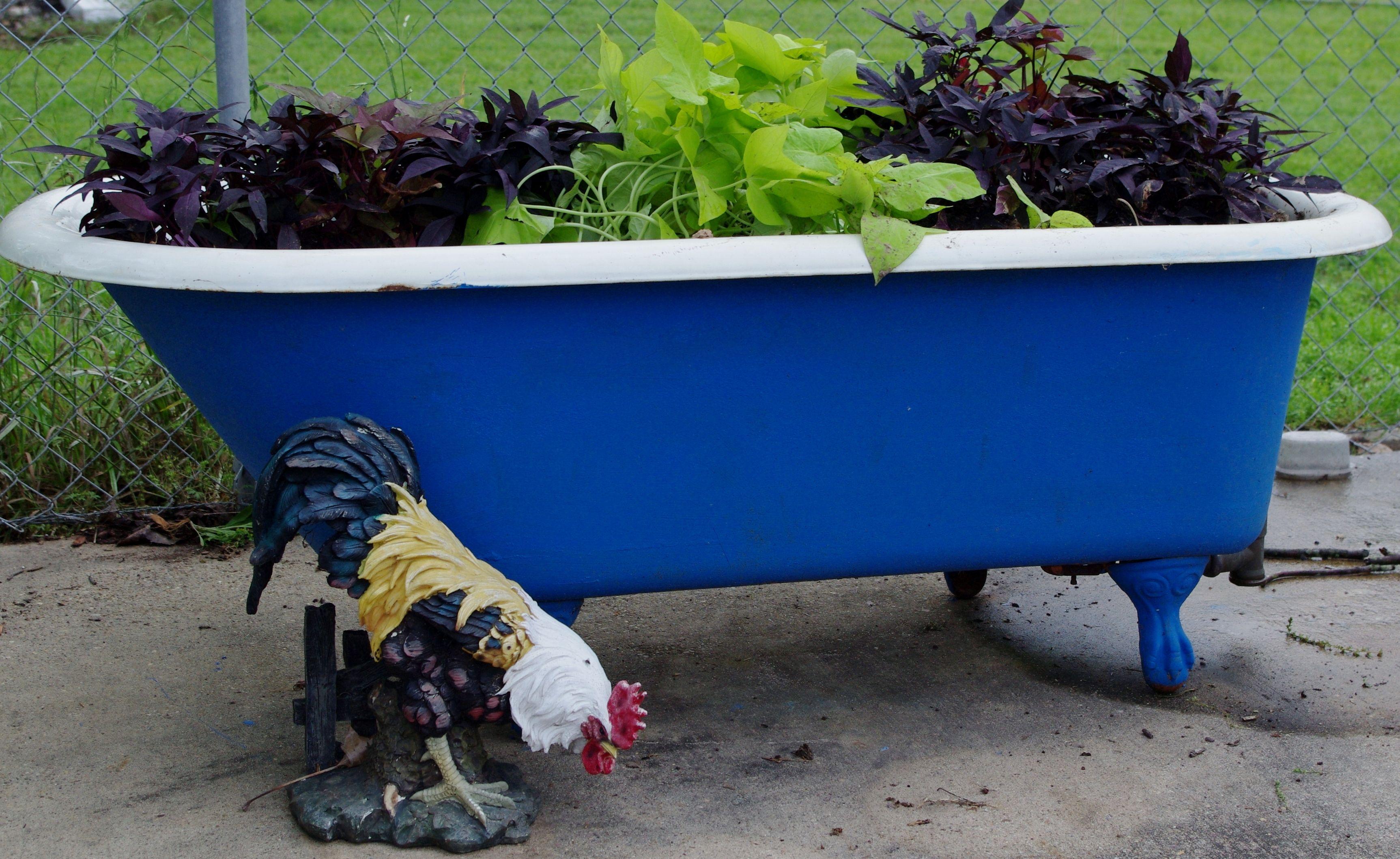 Sweet potato vines in my cast iron tub. | DirtPrincess | Pinterest ...