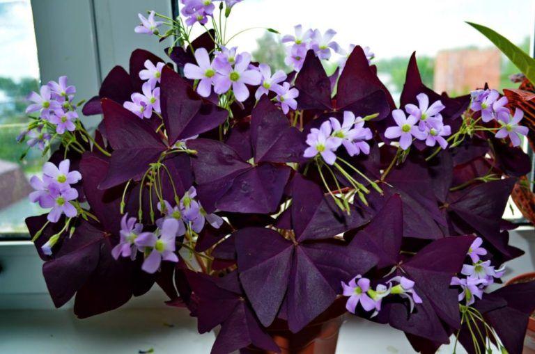 Цветок оксалис (кислица): посадка, выращивание и уход в ...