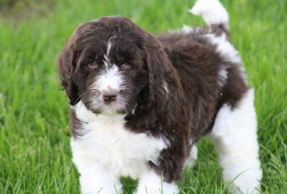 Newfiedoodles Newfypoos Poodle Mix Dogs Puppies Puppies For Sale
