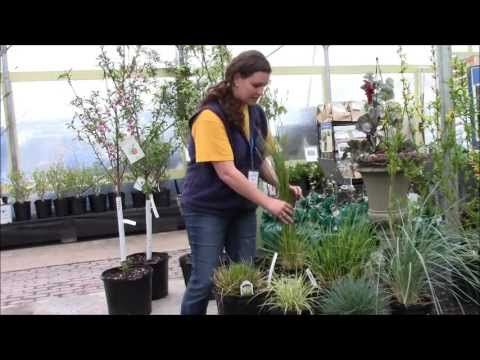 How To Prune And Care For Ornamental Grasses With Stauffers Of Kissel Hill  Garden Center.