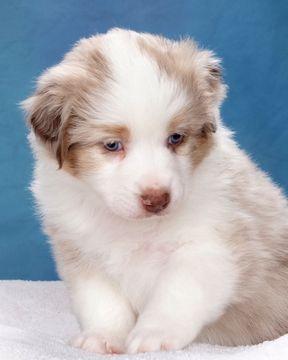 Litter Of 8 Australian Shepherd Puppies For Sale In Bicknell Ut Adn 35719 On Puppy Puppies For Sale Australian Shepherd Australian Shepherd Puppies