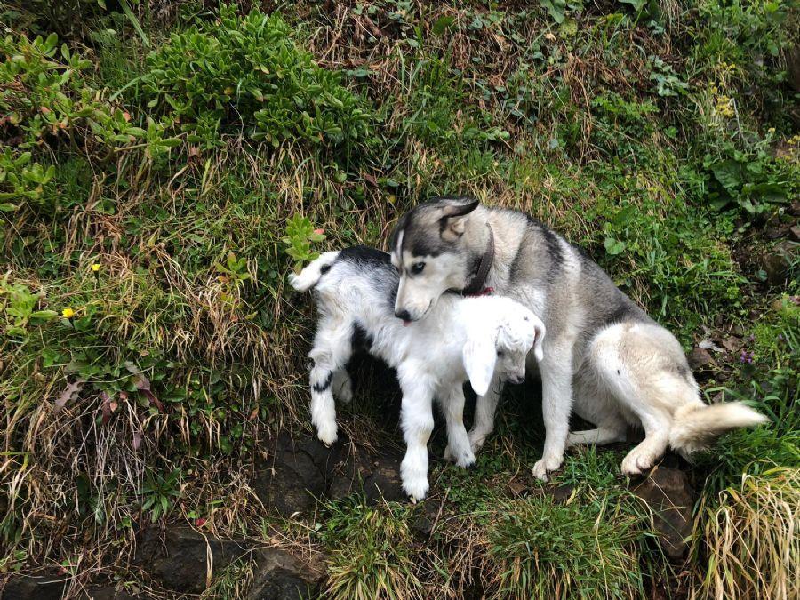 Seinen Hund Hat Kamil Yazici Aus Dem Tierheim Und Die Ziege Von Einem Freund Wer Hatte Gedacht Dass Die Beiden Innerhalb Tagen Zu Den B Tiere Tierheim Husky