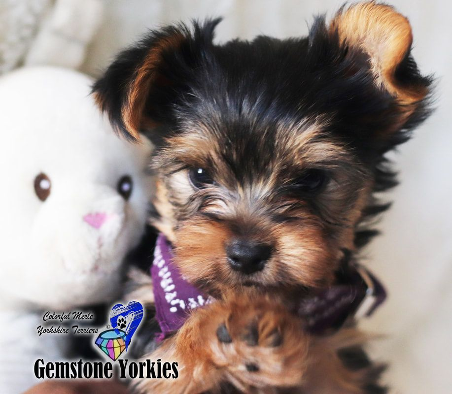 About Different Color Yorkie Coats And Eyes *colorful Yorkies ... About Different Color Yorkie Coats And Eyes *colorful Yorkies ... White Things white color yorkie