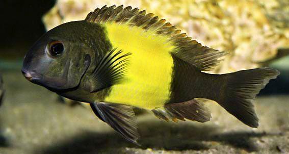 Yellow Banded Tropheus Moorii Cichlid