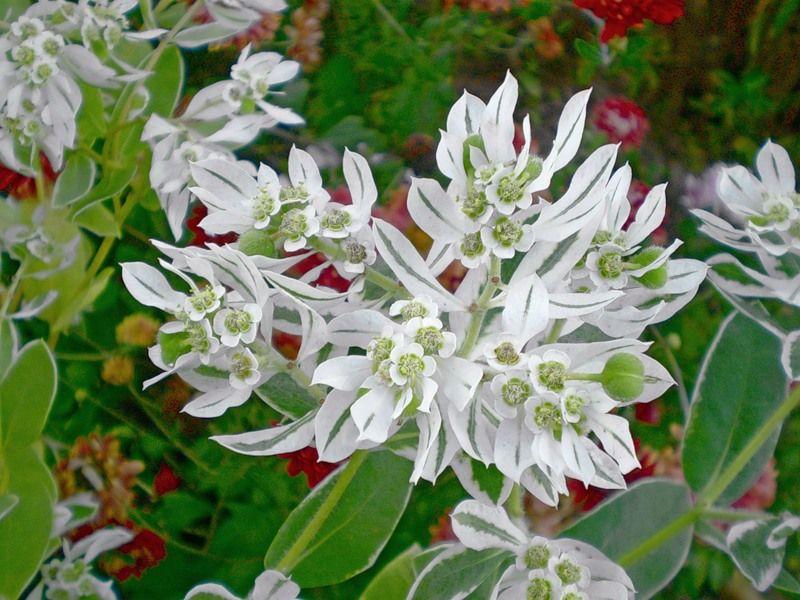 фото цветок богатая невеста
