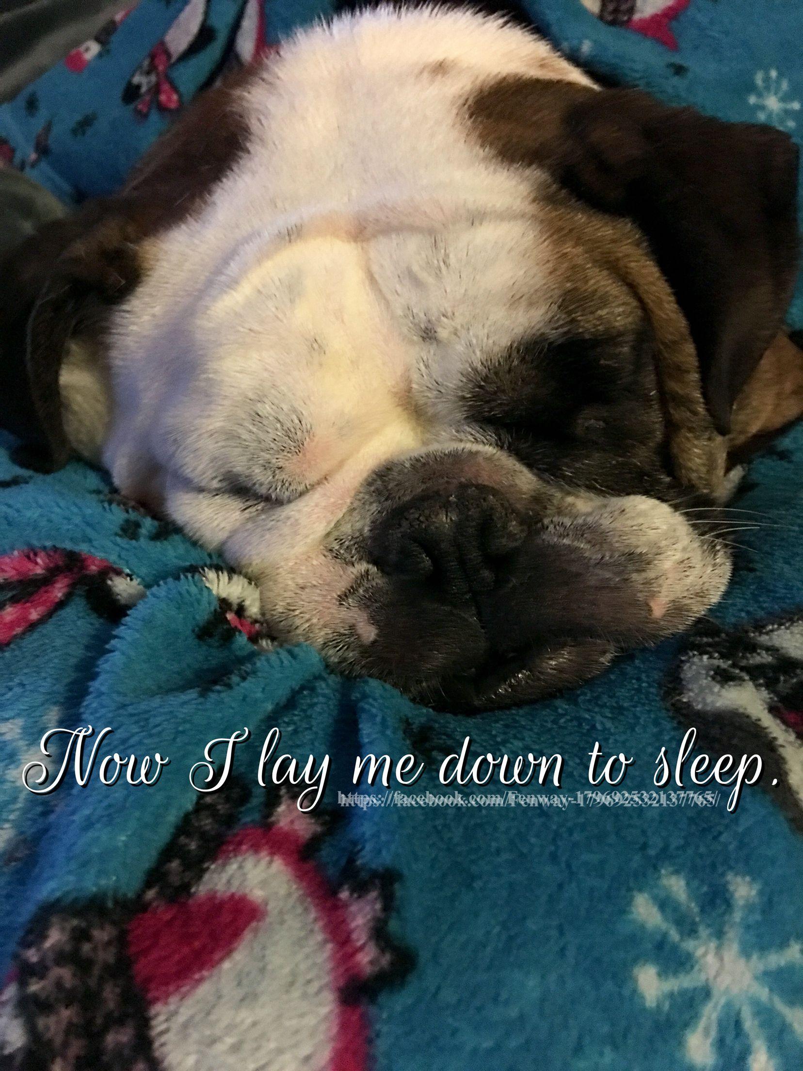 05mar16 Fenway Bulldogs Good Night Sleeping Sweet Dreams