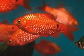 Rosy Barb Fun To Watch Fun To Breed Aquarium Fish Advisor Fish Aquarium Fish Freshwater Aquarium