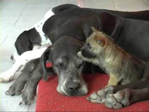 Cairn Terrier Puppy Playing With Great Dane Youtube Cairn