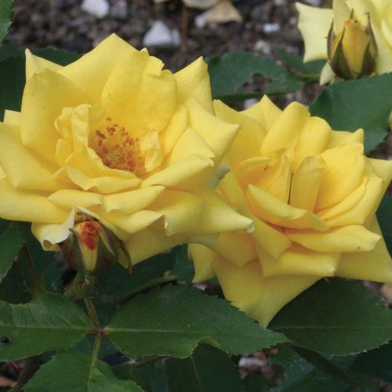 Pacific Serenade A Completely Thorn Less Miniature Rose That Displays Bright Yellow 2 1 2 Flowers Petals 15 25 Atop Glos Types Of Roses Rose Flowers Petals