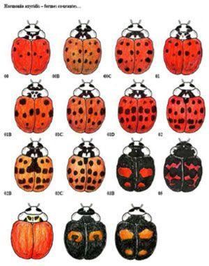 Asian ladybeetle vs ladybug