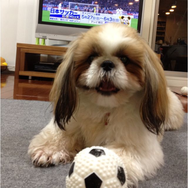 Looks like Zak! Shih tzu, Shih tzus, Doggy