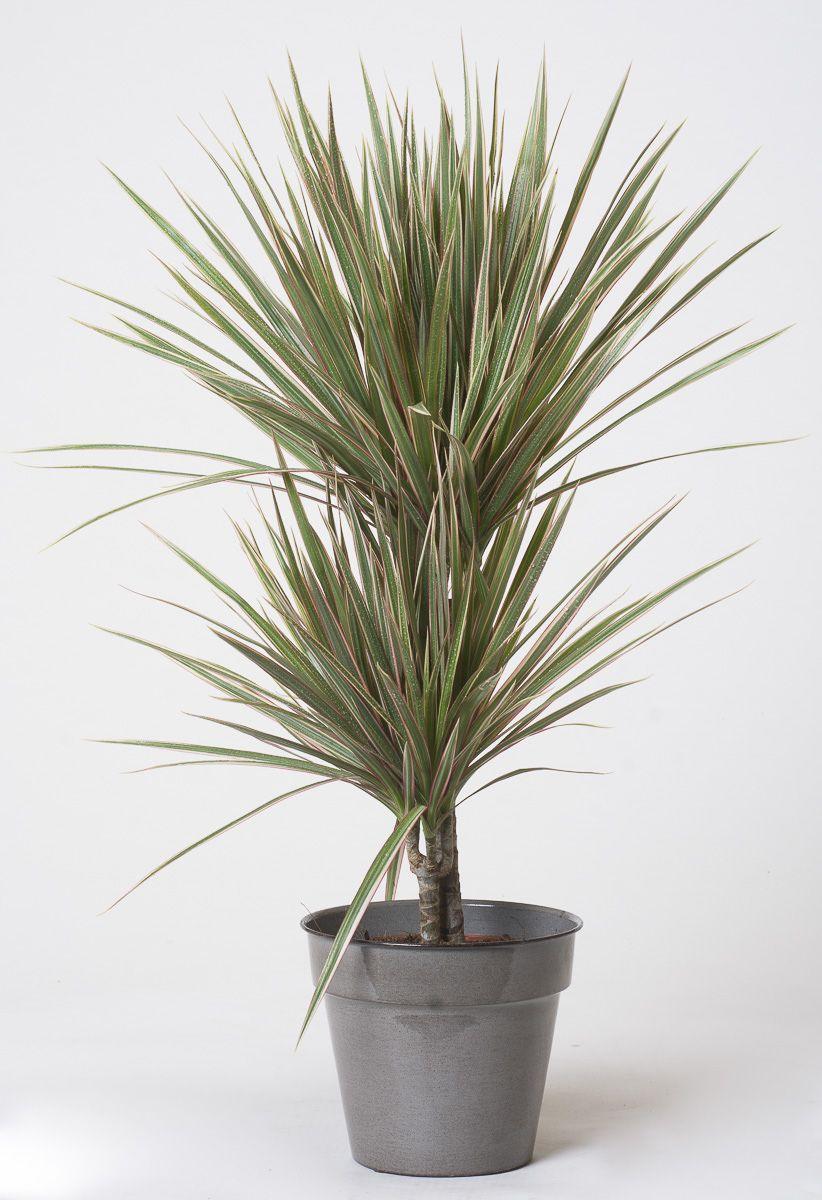 Drachenbaum Marginata Dracaena Marginata Bicolor Gunstig Online Kaufen Drachenbaum Pflanzen Zimmerpflanzen
