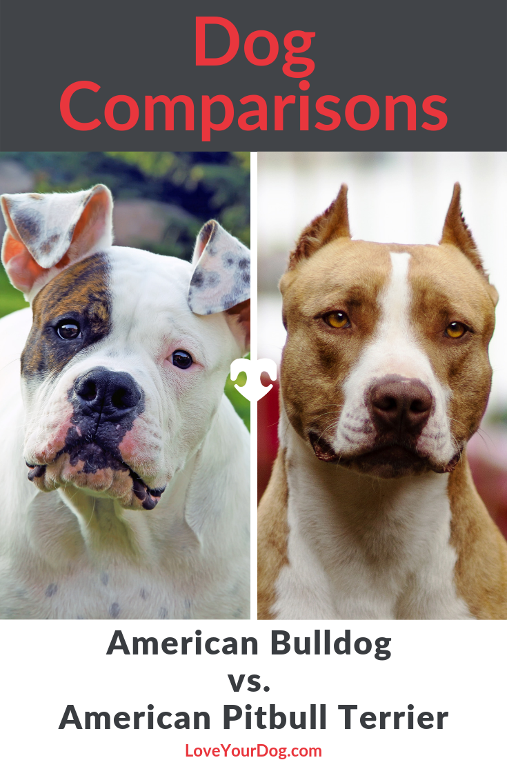 American Bulldog vs. Pitbull Terrier Breed Comparison