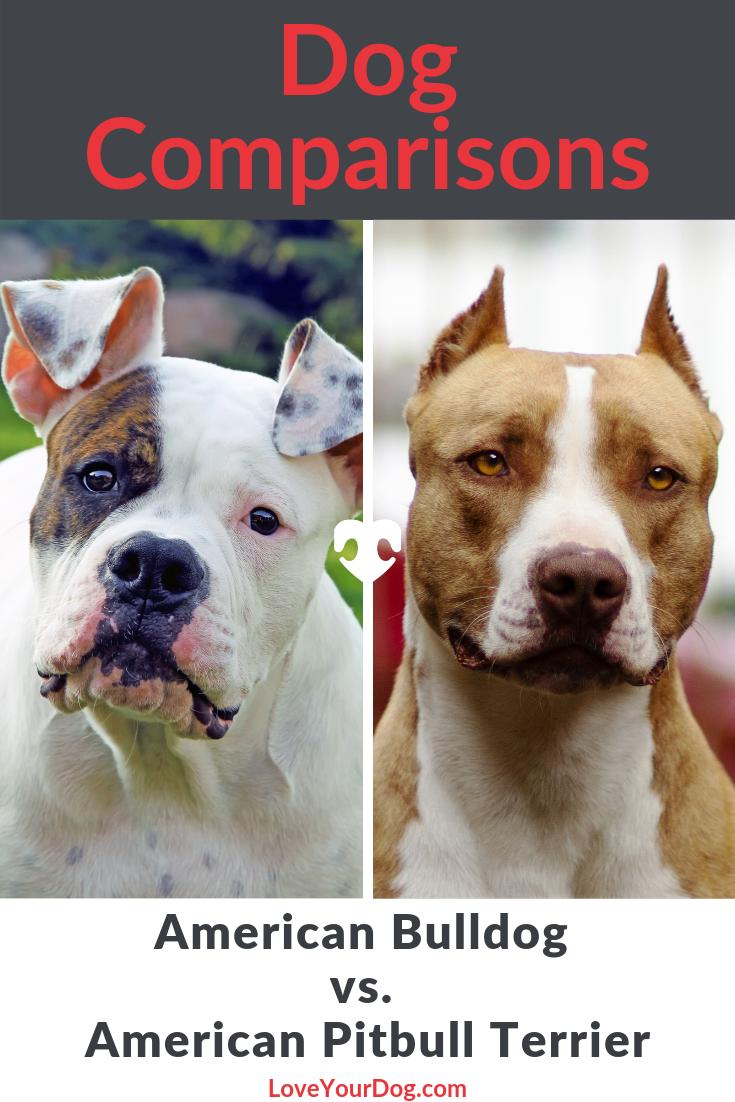 American Bulldog Vs Pitbull Terrier Breed Comparison American Bulldog Pitbulls Pitbull Terrier