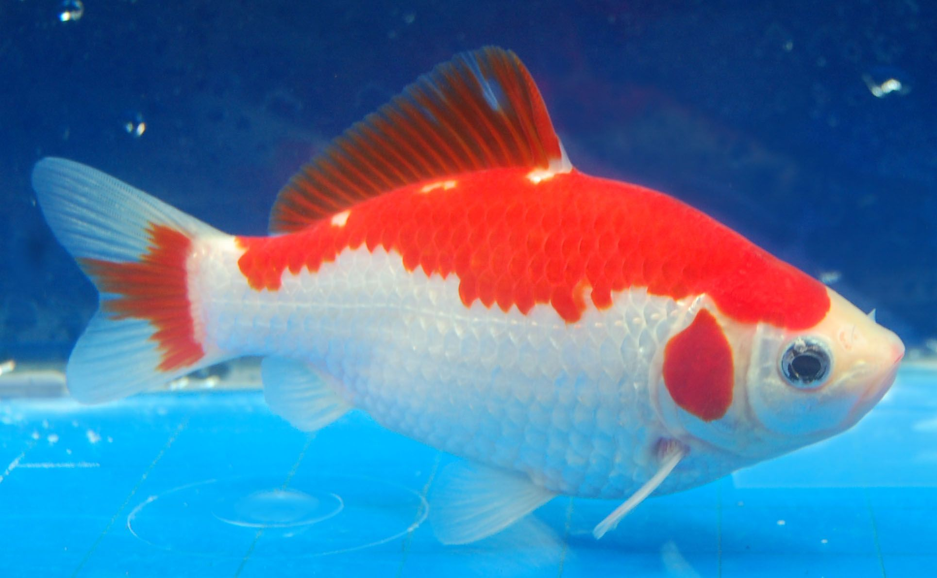 Sarasa hibuna cool fish pinterest goldfish comet for Koi fish and goldfish