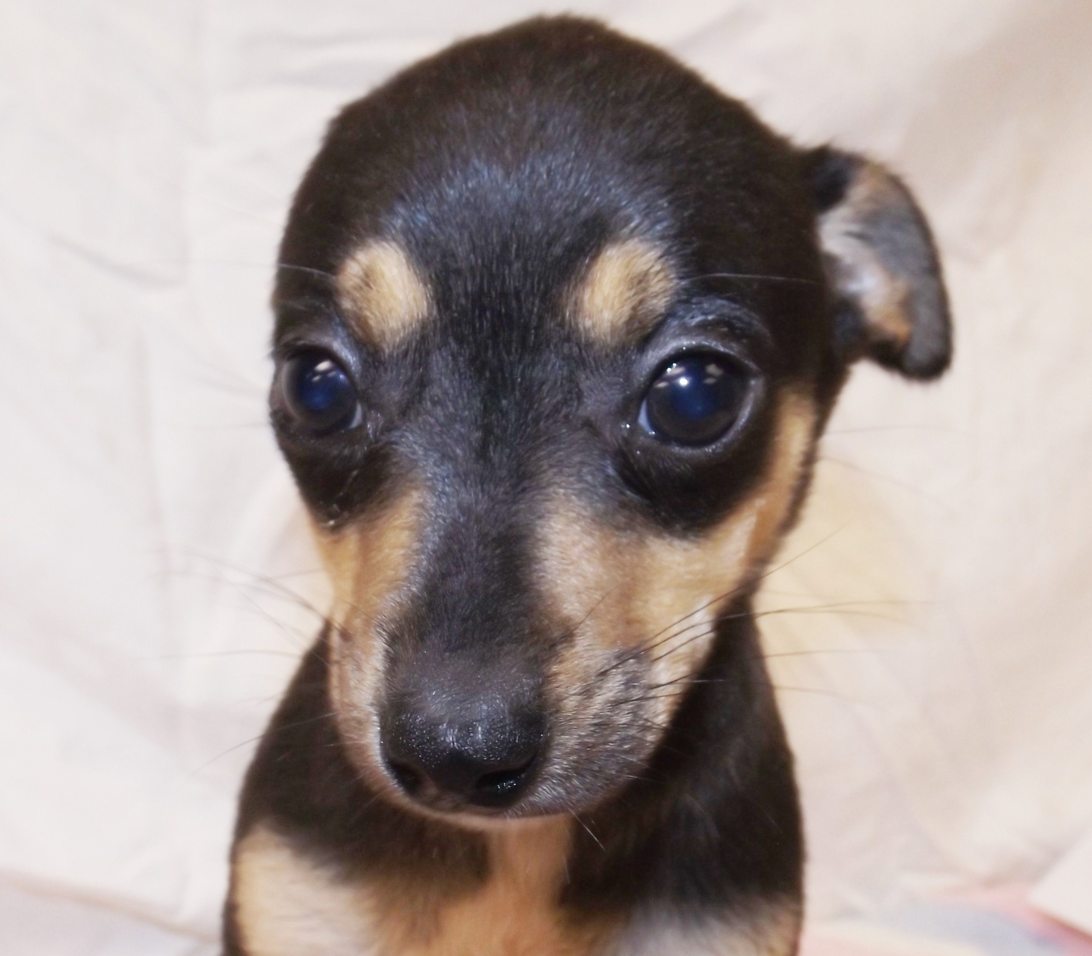 Chiweenie Dog For Adoption In Oxford Ms Adn 490303 On