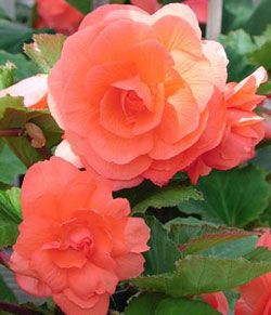 Tuberous Double Begonia Salmon Beautiful Flowers Images Begonia Flower Photos