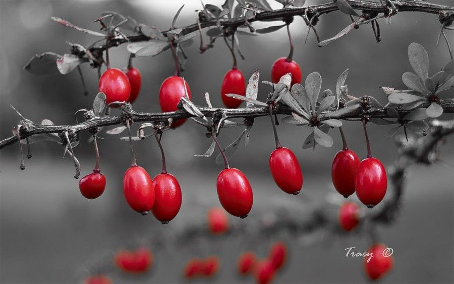 Barberries by Tracy Thing on 500px