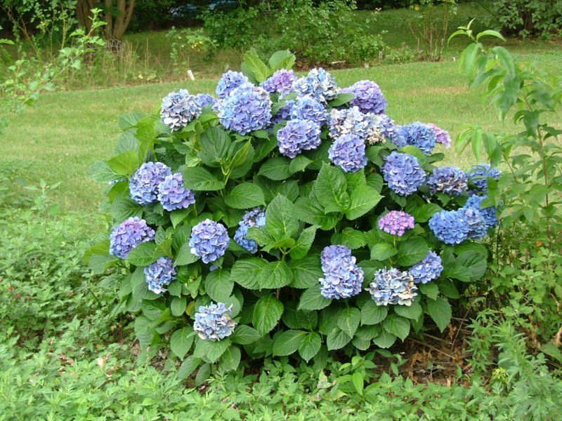 Best shrubs and bushes for southeastern pa top performers for Flowering landscape bushes