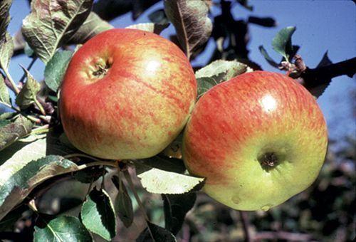 Bramley Apple Mm106 Spring Heritage Apples Apples 400 x 300