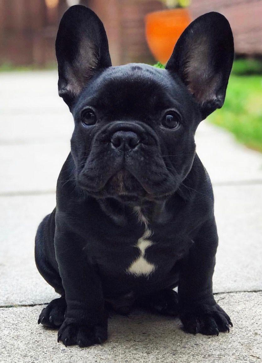 bulldog Cute animals, Puppies, Animals