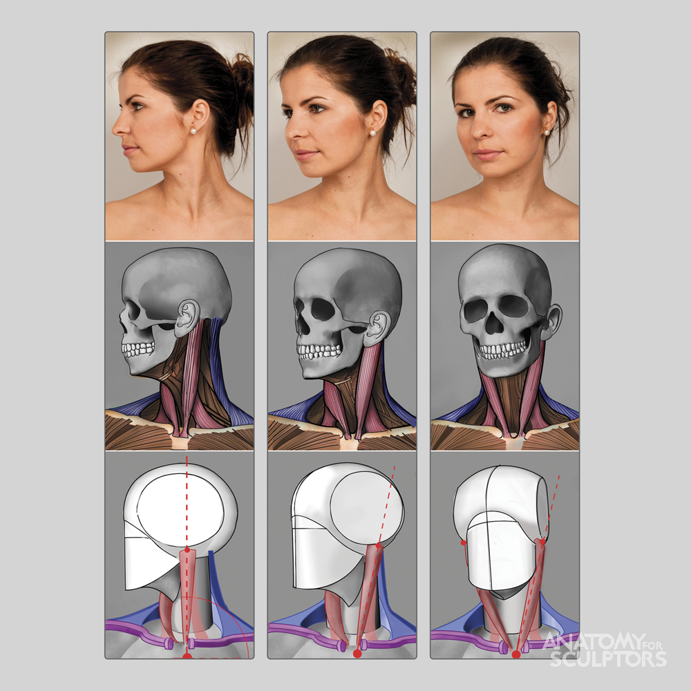 AnatoRef | Neck | art ref: anatomy/body tutorials | Pinterest ...
