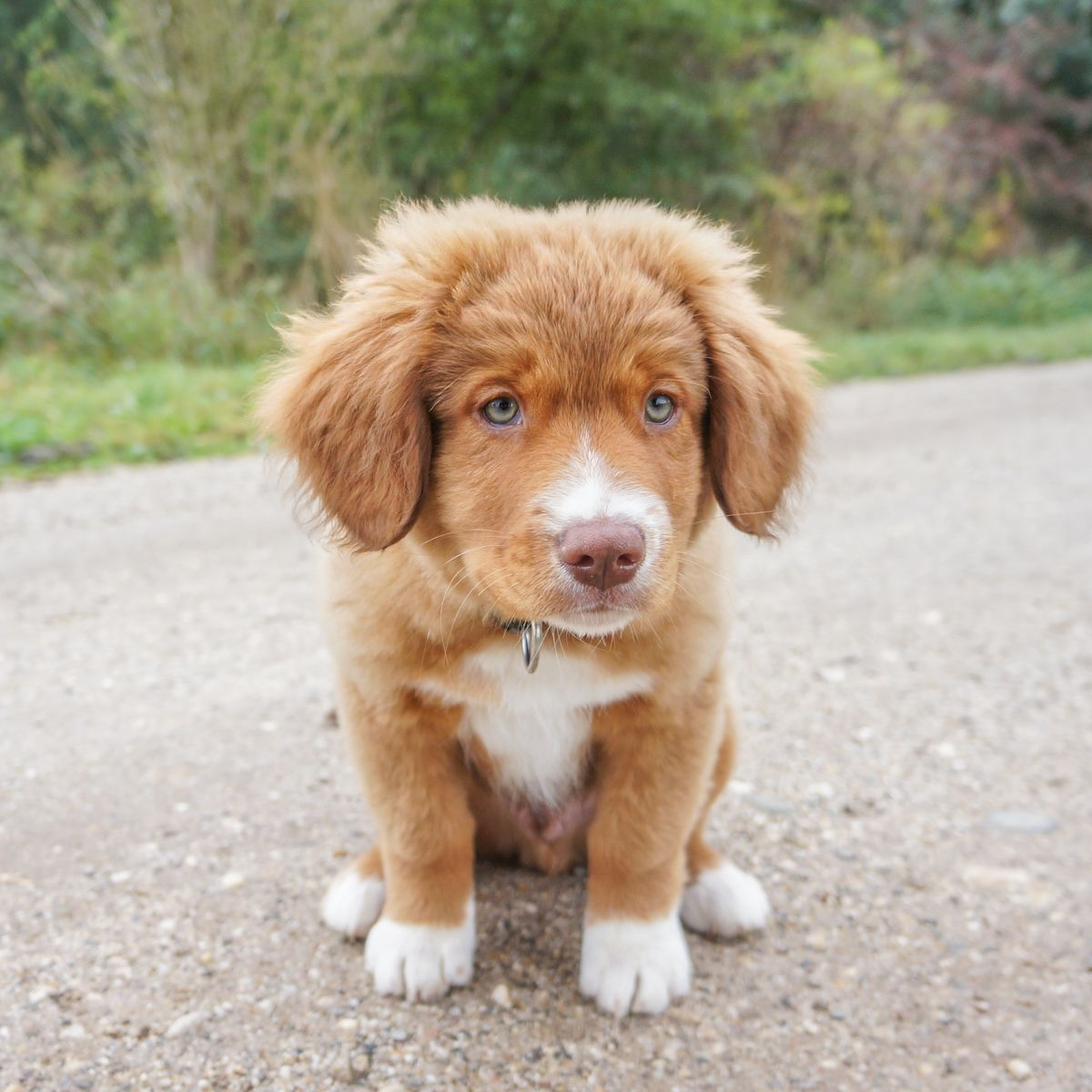 Cute Toller Puppy With Beautiful Puppy Eyes That S Styx Nova