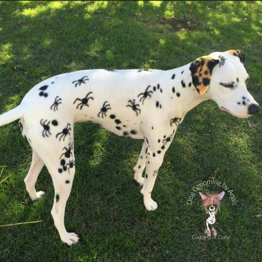 Repinned Spider Dalmatian Creative Dog Grooming Dog Grooming