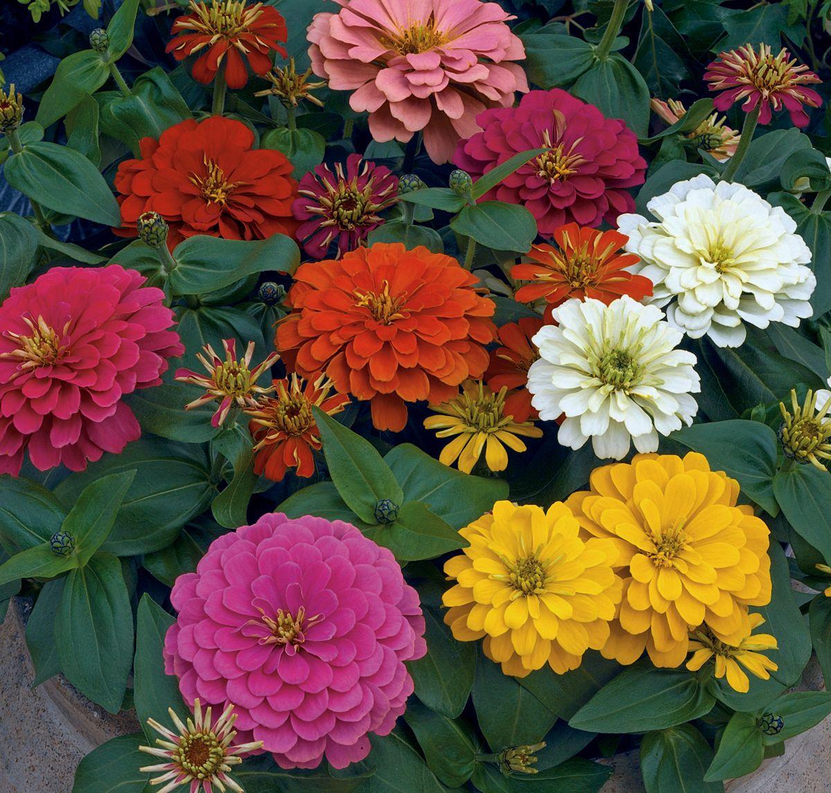 Zinnia Mixed pohlmansnursery pohlmans zinnia flowers