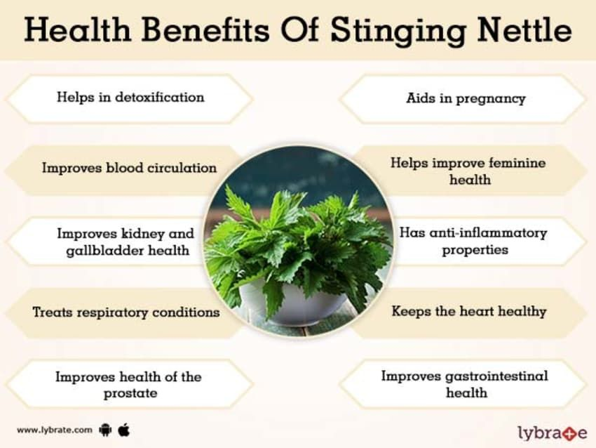 Benefits Of Stinging Nettle And Its Side Effects Lybrate Feminine Health Stinging Nettle Heart Healthy