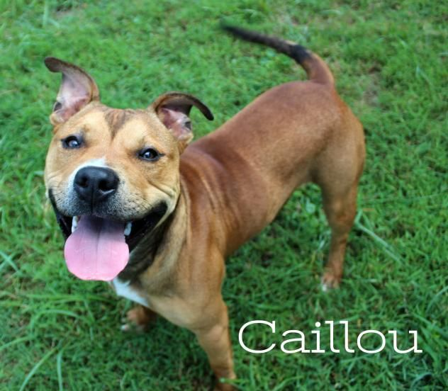 Adopt Caillou On Petfinder Pitbull Terrier Terrier Mix Dogs Caillou
