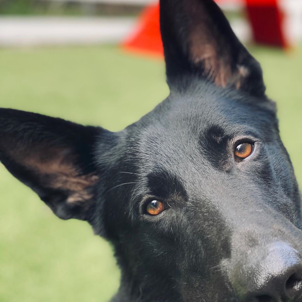 The most loving eyes on a fearless protector! We specialize in the training and sales of Family Protection Dogs. Our dogs are kid safe, fully trained, socialized and ready to protect you and your family in any situation!  #workingdog #dogsofinstagram #germanshepherd #dogtraining #servicedog #workingdogsofig #protectiondog #protectiondogs #policek9 #maligator #gsdofinstagram #k9training #dogsarefamily #bitework #guarddog #doglover #rottweiler #rottweilers #rottiesofinstagram #familyprotection