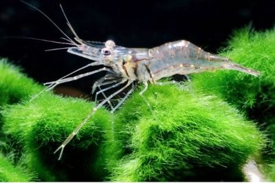 Whisker shrimp | Freshwater Shrimp | Ghost shrimp, Shrimp