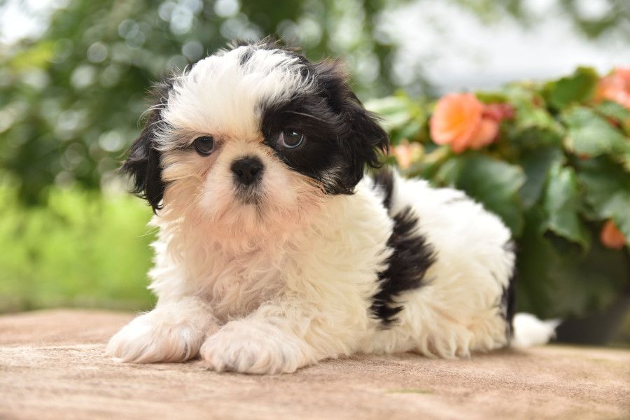 Puppies For Sale With Images Shih Tzu Puppy Puppies Shih Tzu