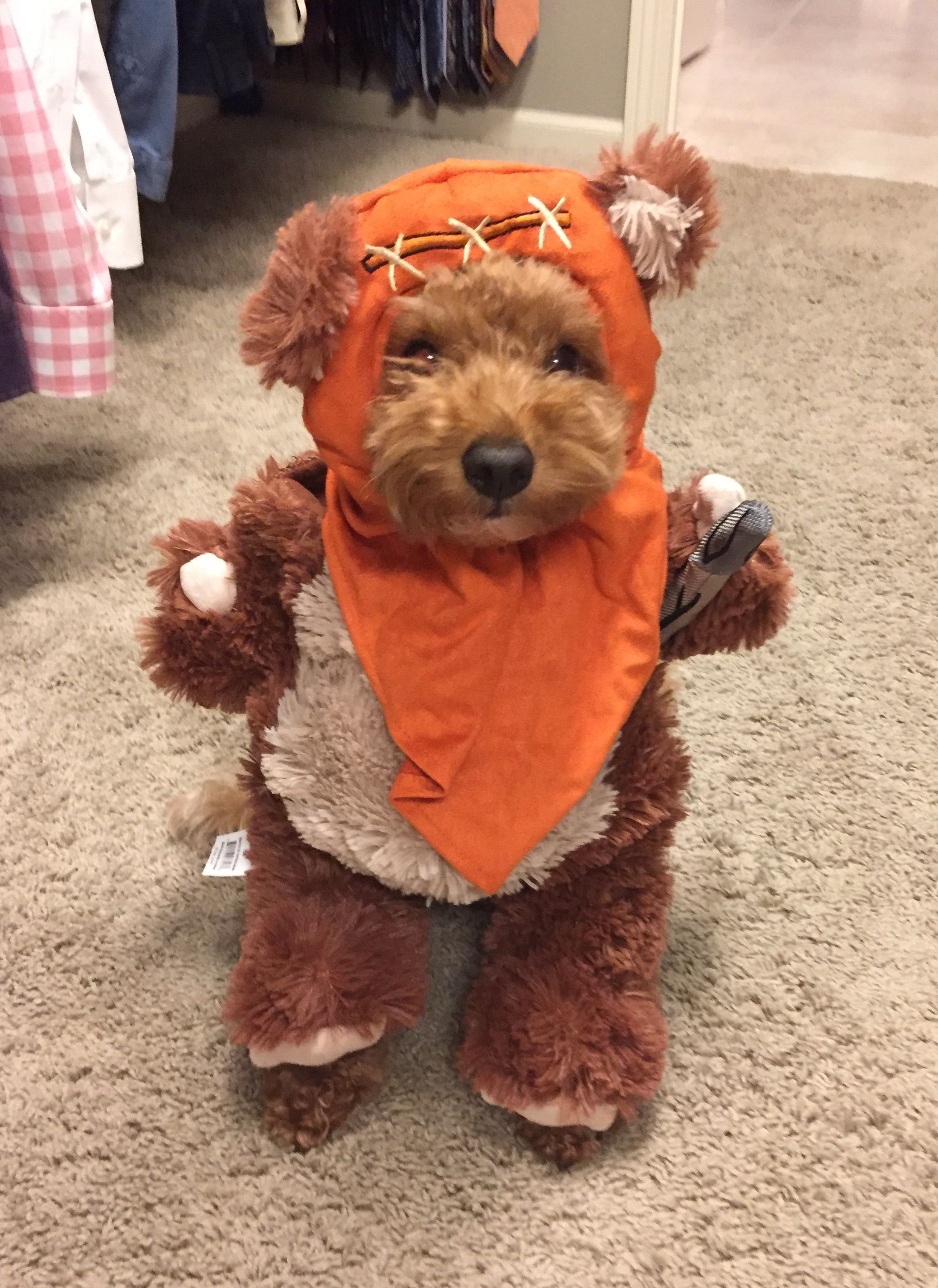 Goldendoodle Halloween costume (With images
