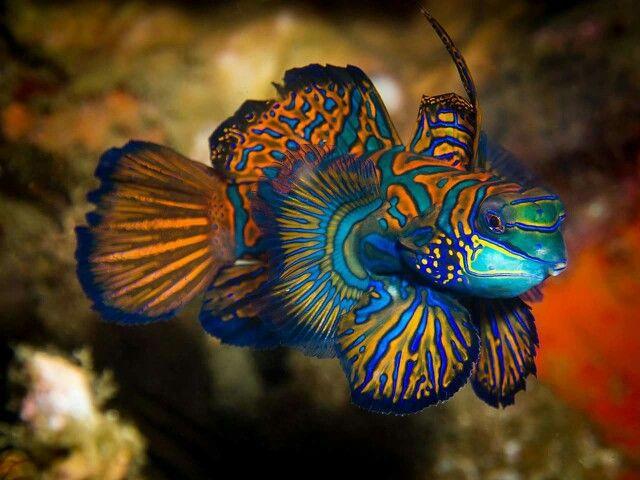 Beautiful Mandarin Fish Saltwater Aquarium Fish Beautiful Sea Creatures