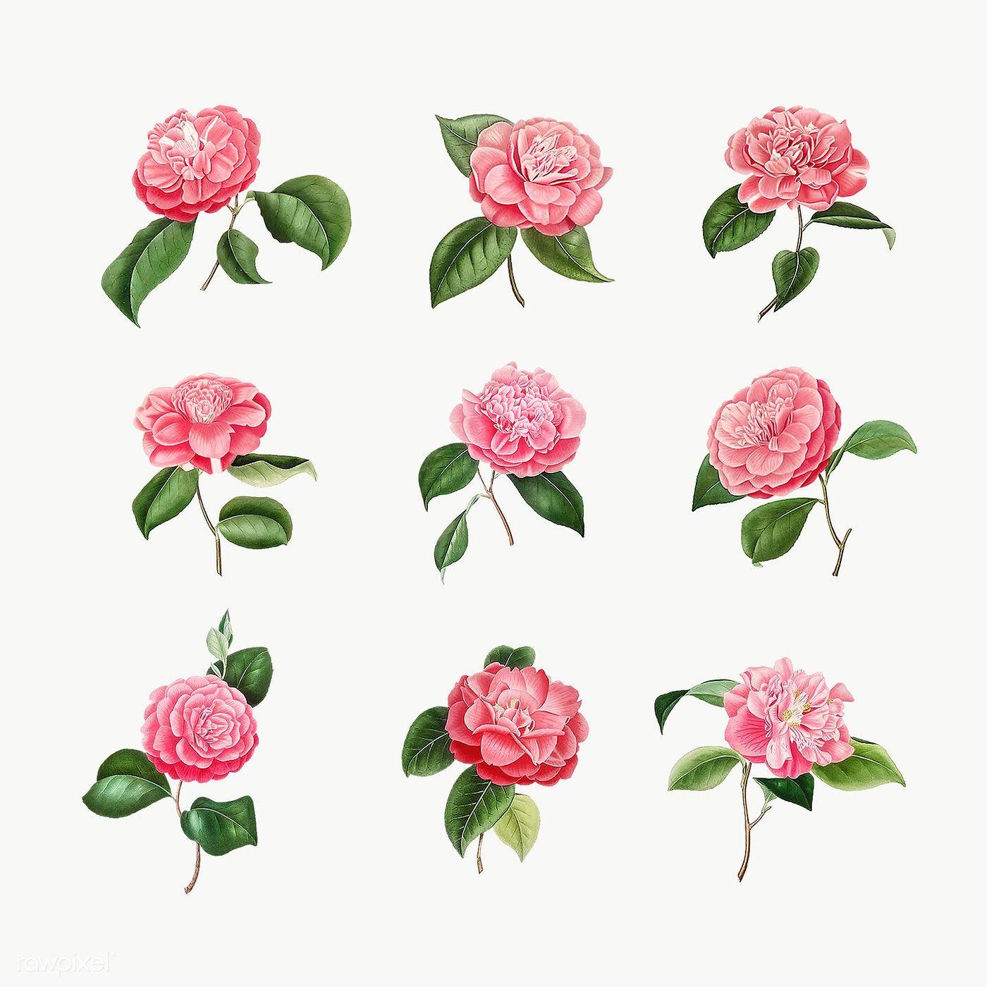 Download Premium Png Of Set Of Vintage Camellia Roses Transparent Png In 2020 Flower Illustration Camellia Flower Rose Illustration