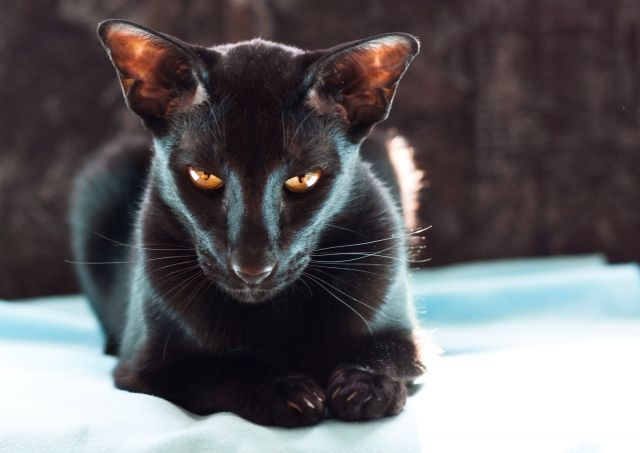 The Sphinx Is Watching A Mouse Oriental Shorthair Cats Beautiful Cats Oriental Shorthair