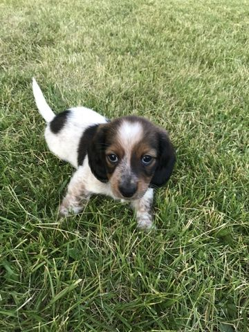 Dachshund Puppy For Sale In Peru Il Adn 33696 On Puppyfinder Com