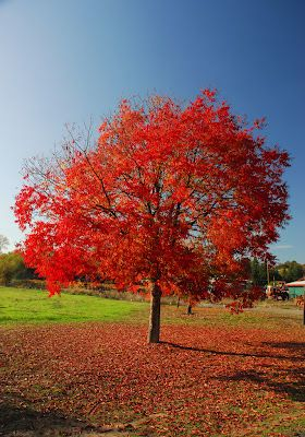 Chinese Pistachio Western Tree Nursery Northern California