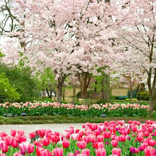 Celebrate Cherry Blossom Season At The Arboretum Cherry Blossom Season Arboretum Dallas Arboretum