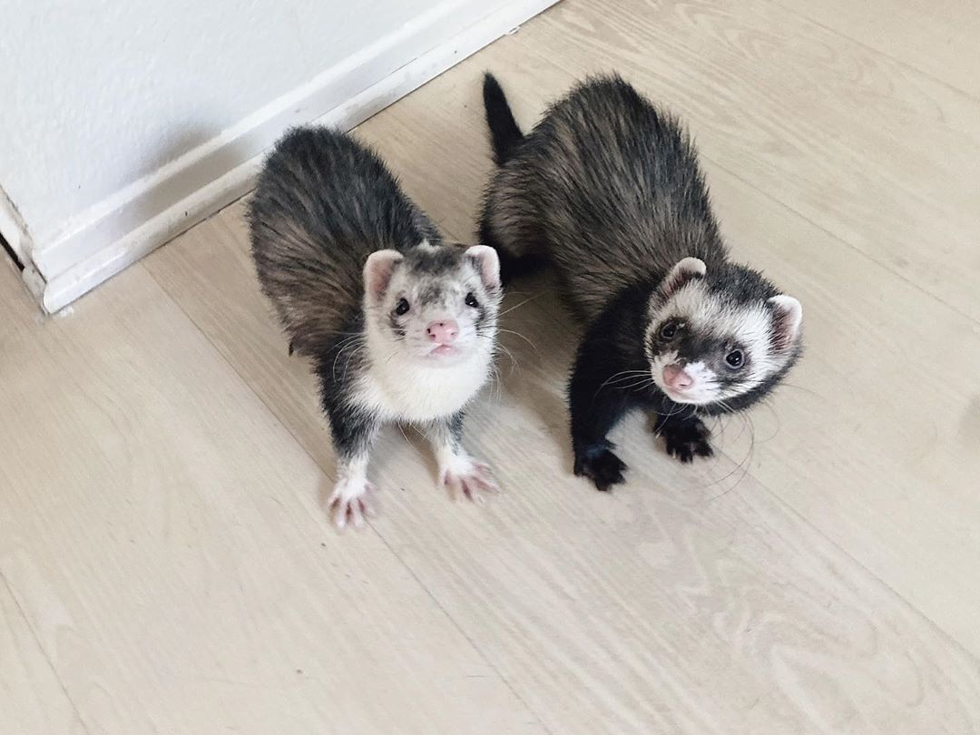 Fun Fact Tuesday A Lot People Think Ferrets Are Gerbils Or Rodents But Theyre Ferret Pets Animals Ferrets Ferret Cute Ferrets Funny Ferrets