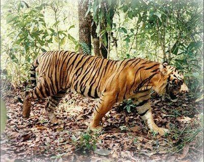 Bali Tiger Is It Really True Pet Tiger Tiger Facts