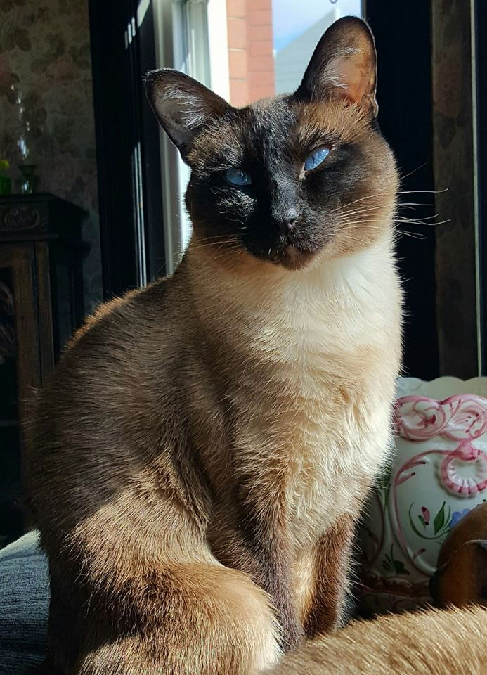Pin by Jennifer McMaster on Siamese (With images