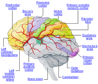 The Brain Labelled | The Brain | Pinterest